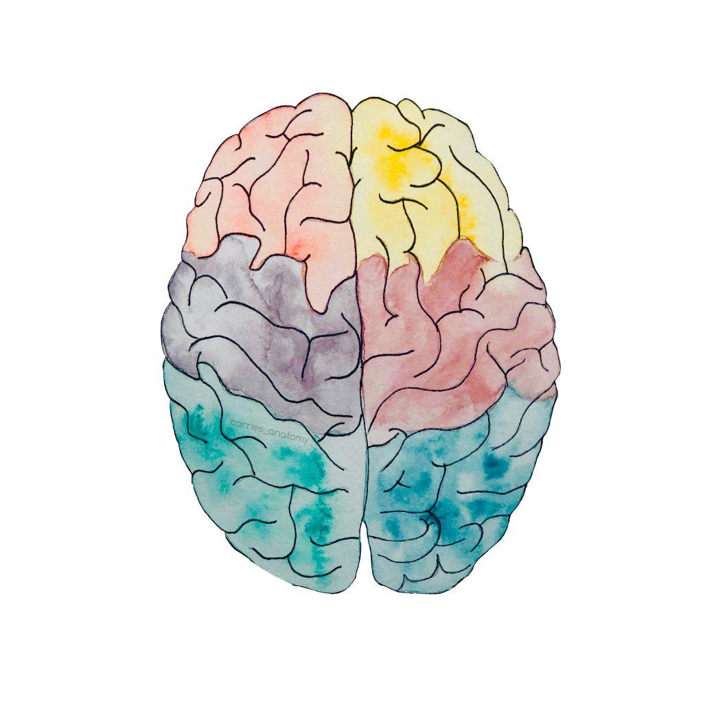 Das Gehirn, gemalt von der Lieben Carries_anatomy. franzis-Blogstory.schreibnacht.de